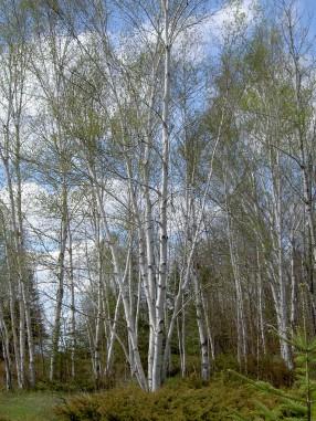 Birch trees in Upper Michigan