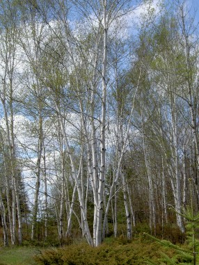 Birch trees in Upper Michigan